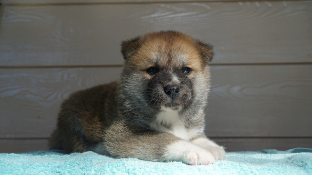 2 Male Red Fawn Japanese Akita Puppy