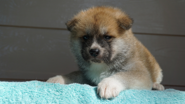 3 Male Red Fawn Japanese Akita Puppy