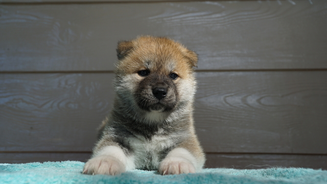 1 feMale Red Fawn Japanese Akita Puppy