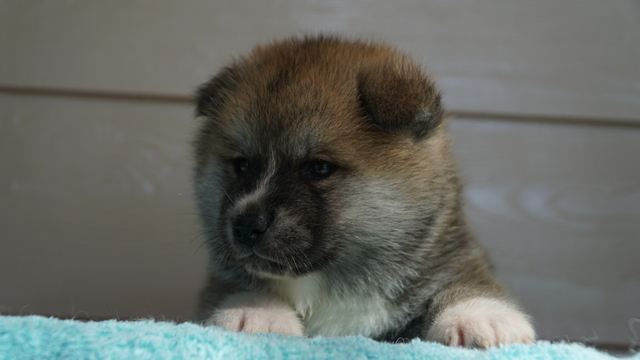 2 feMale Red Fawn Japanese Akita Puppy