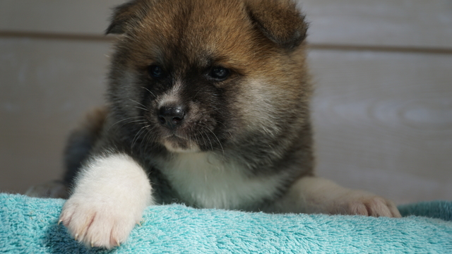 3 feMale Red Fawn Japanese Akita Puppy