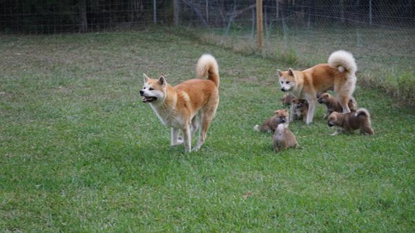 Japanese Akita Puppy 1.jpg