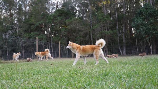 Japanese Akita Puppy 3.jpg