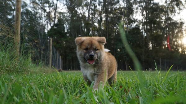 Japanese Akita Puppy 4.jpg