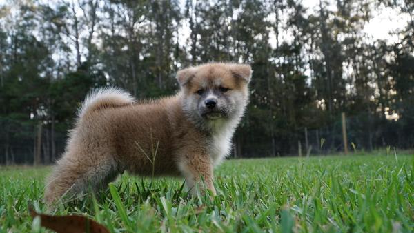Japanese Akita Puppy 5.jpg