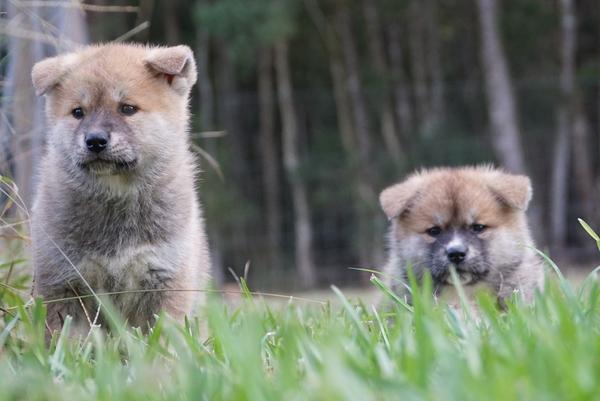 Japanese Akita Puppy 6.jpg