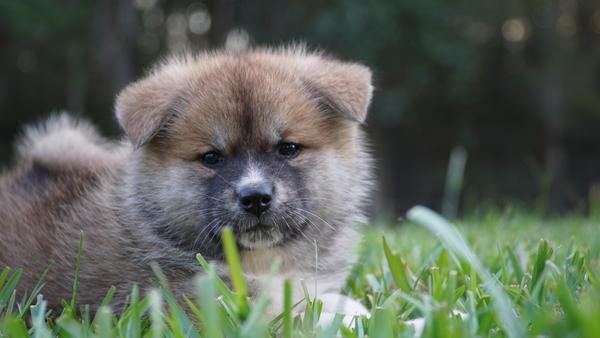 Japanese Akita Puppy 7.jpg