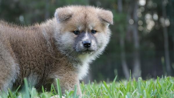 Japanese Akita Puppy 8.jpg