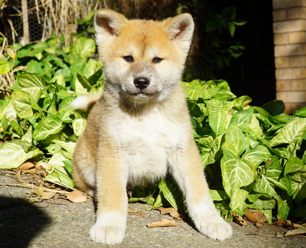 red male japanese  akita puppy  -  click here to enquire