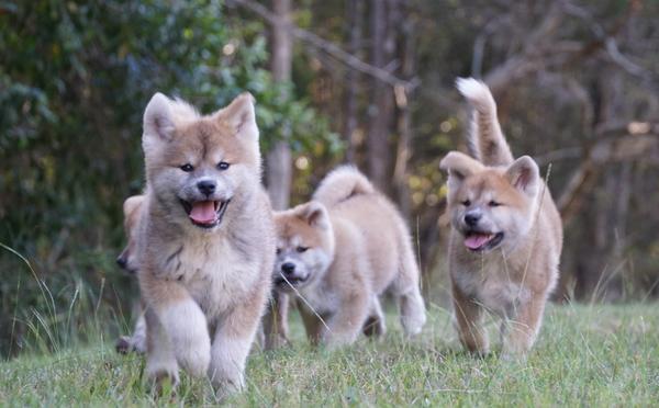Available Japanese Akita Puppies