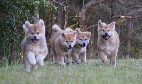 Available Japanese Akita puppies