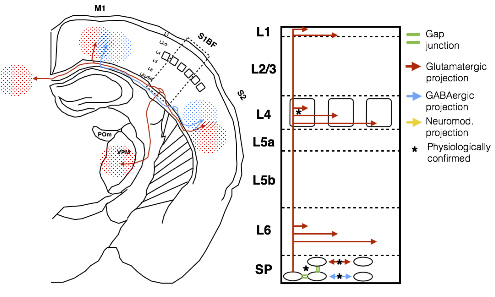 I realize now there is an arrow missing there. Subplate (or at least mature L6b) neurons also project to higher-order thalamic nuclei, of which the POm is an example.