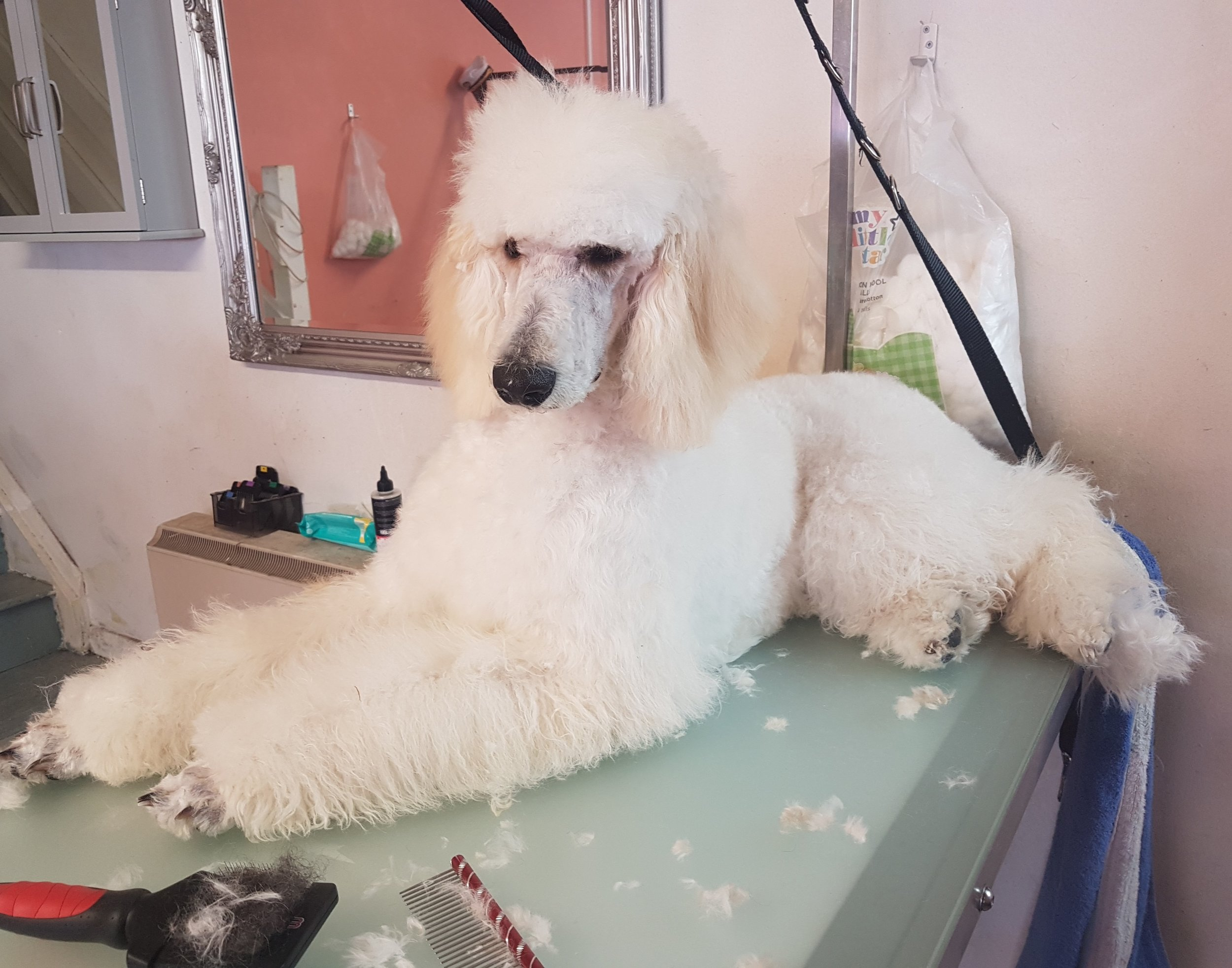standard poodle puppy grooming