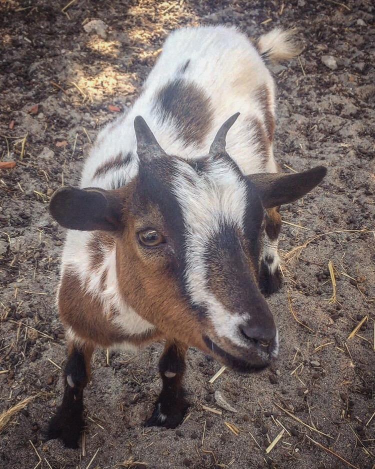 dwarf goat.JPG