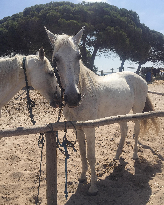 horses white .JPG