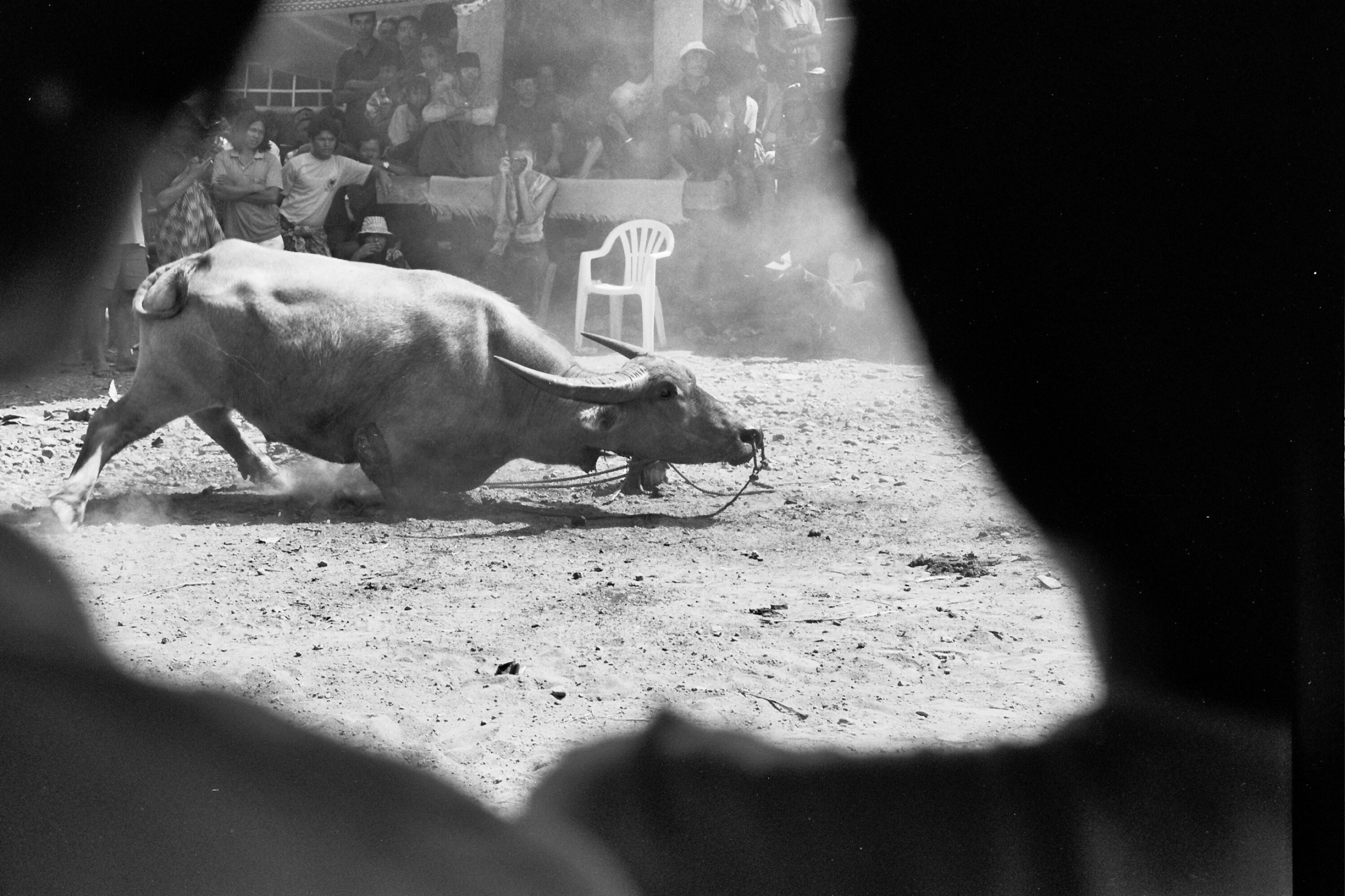 Buffalo sacrifice in the Toreja lands