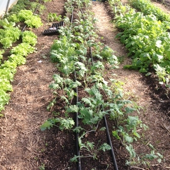 Winter polytunnel crops