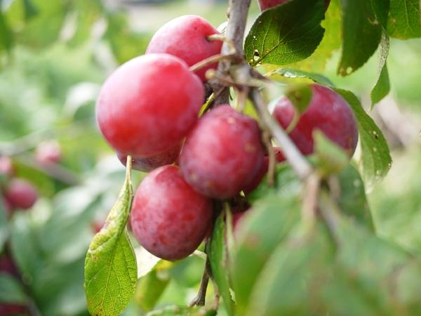 Cherries, Plums, Gages & Damsons