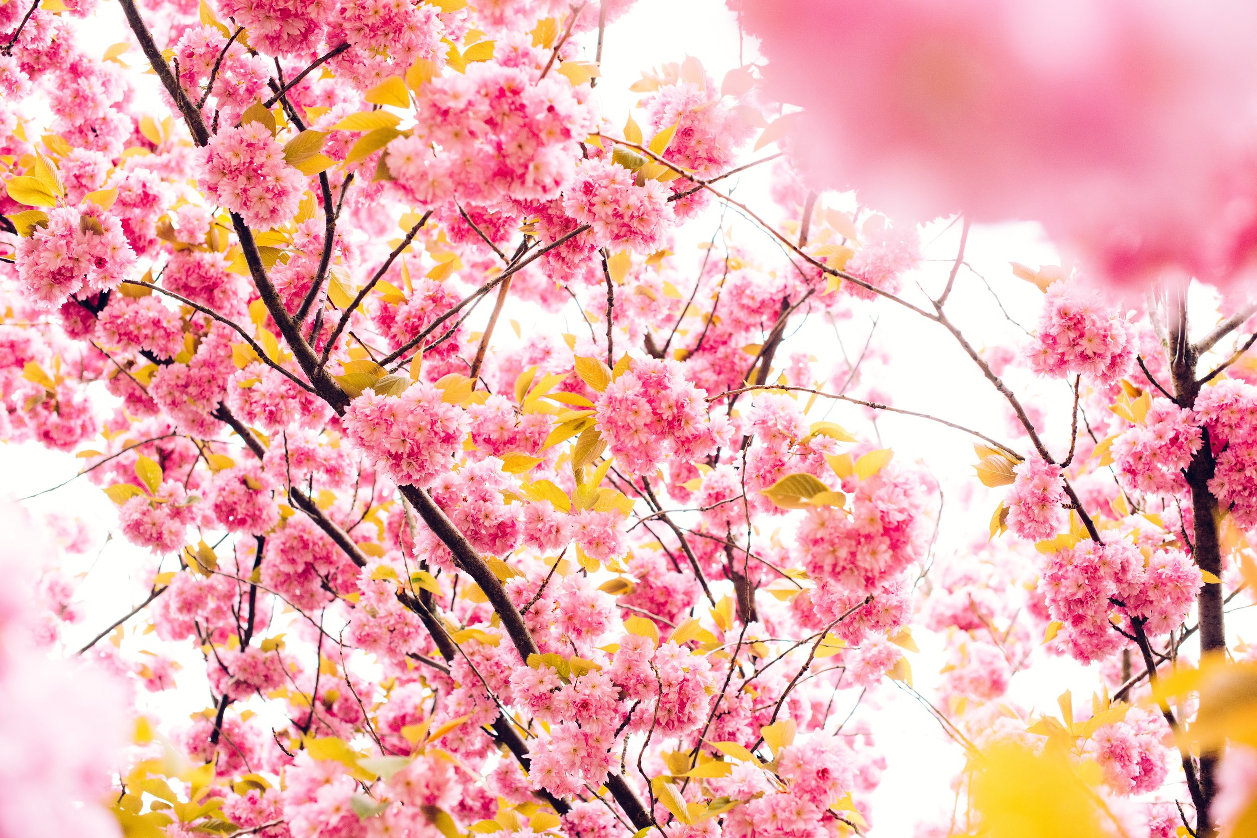 Cherry Blossoms Spring.jpg