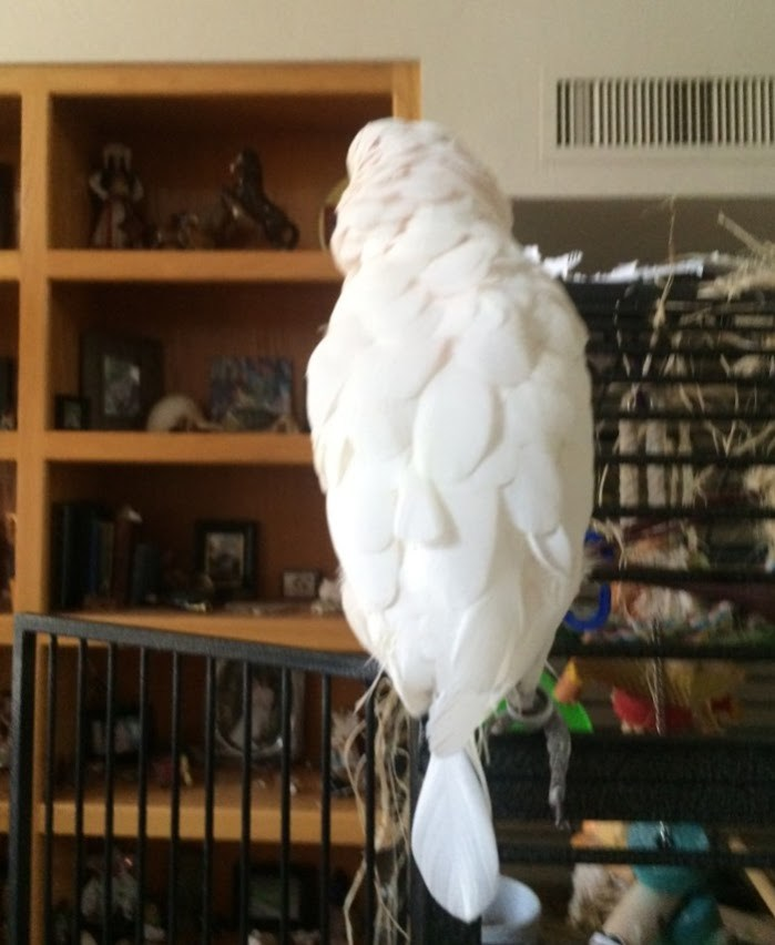 """A rare """"Spoontail"""" Cockatoo – July 29, 2015"""