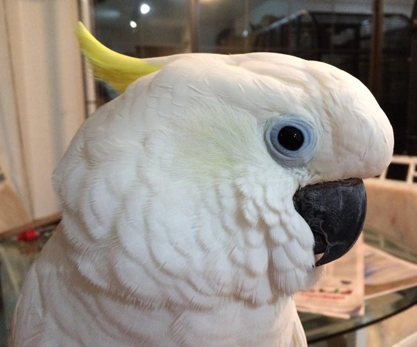 Bud Triton Cockatoo.JPG