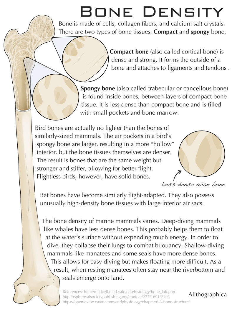 Alithographica Art   ·   October 13     , 2017 ·      Another Halloween-ish science fact: Bone density!  Support Science Fact Friday on Patreon!   https://www.patreon.com/alithographica