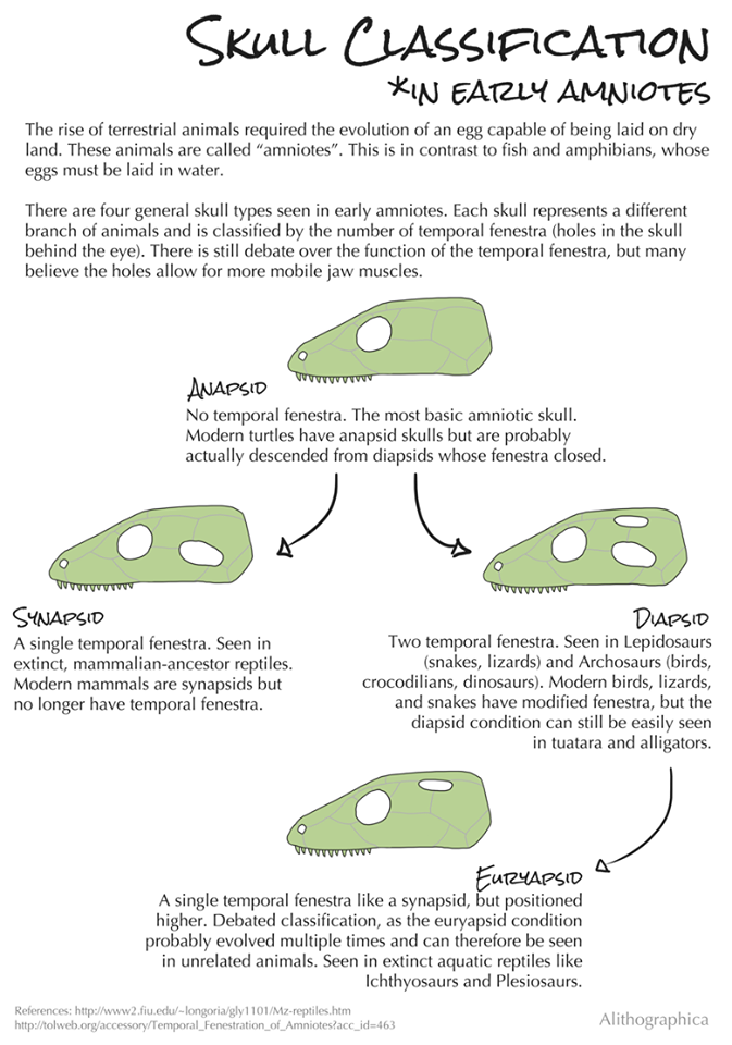 Alithographica Art · January 7, 2018 ·      Science Fact Friday: A skull classification system that works all of the sometimes.  This is an example of why evolutionary trees get reorganized fairly often. Until recently it was believed that turtles were anapsids. Molecular studies indicate that they're actually diapsids who lost their fenestra so they just /look/ anapsid. With our spotty fossil record, morphology isn't always reliable – butsometimes it is. Some of the first evidence that birds are dinosaurs was based on skull studies. Likewise, it helped separate ancient proto-mammalian and non-mammalian reptiles. Like most tools, it's best used in combination with other techniques.  Support Science Fact Friday on Patreon:   https://www.patreon.com/alithographica