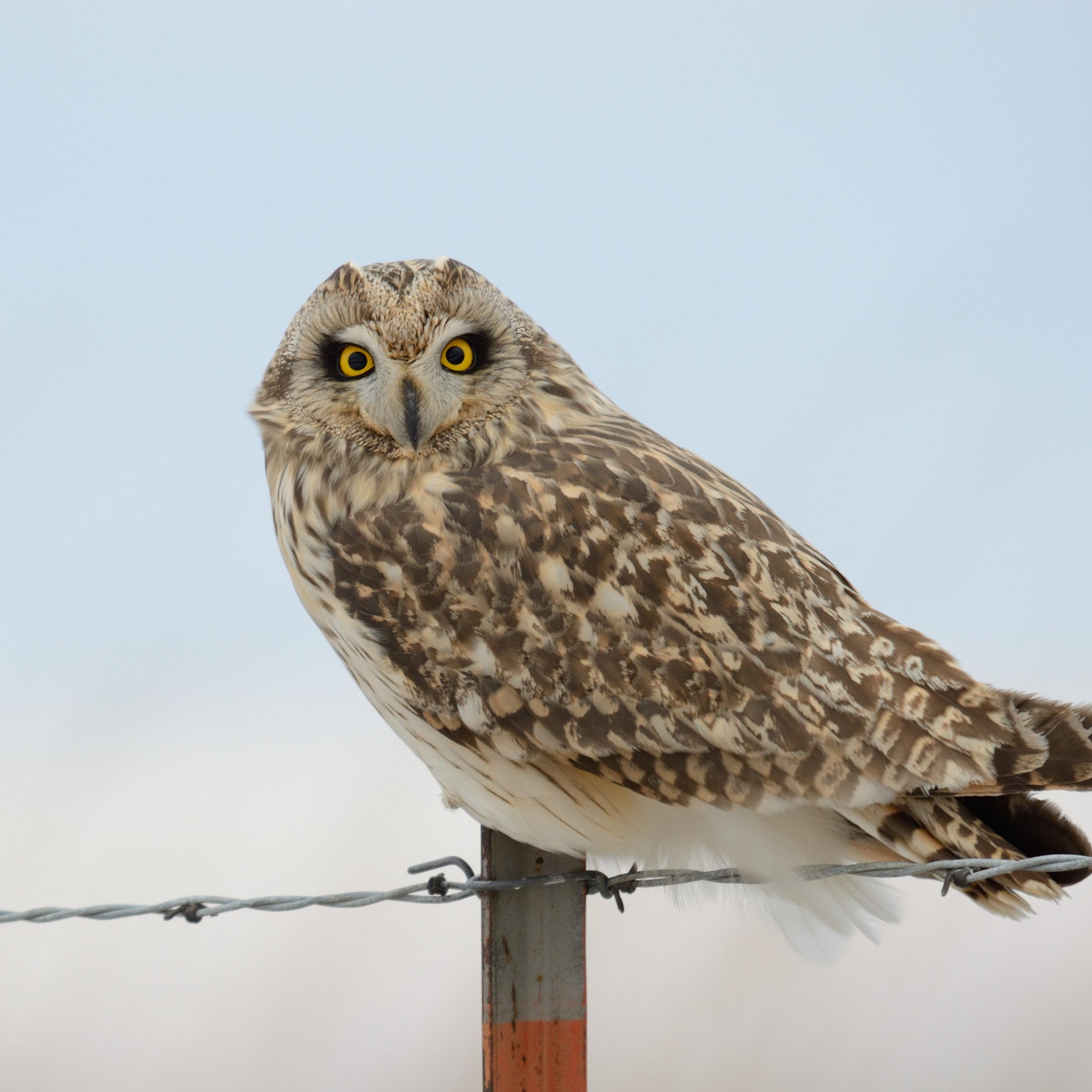 short-eared-owl_32132595615_o.jpg