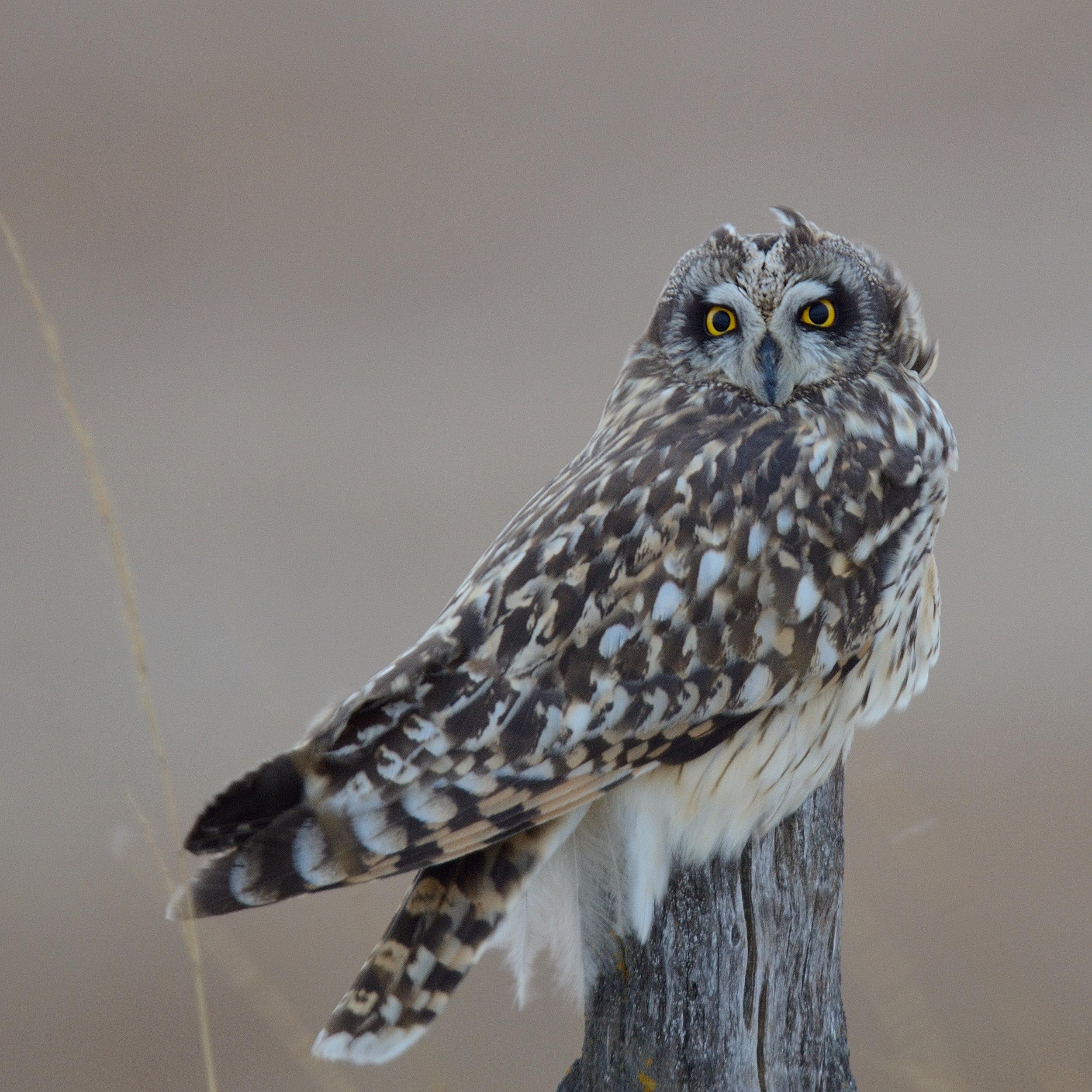 short-eared-owl_31322823373_o.jpg