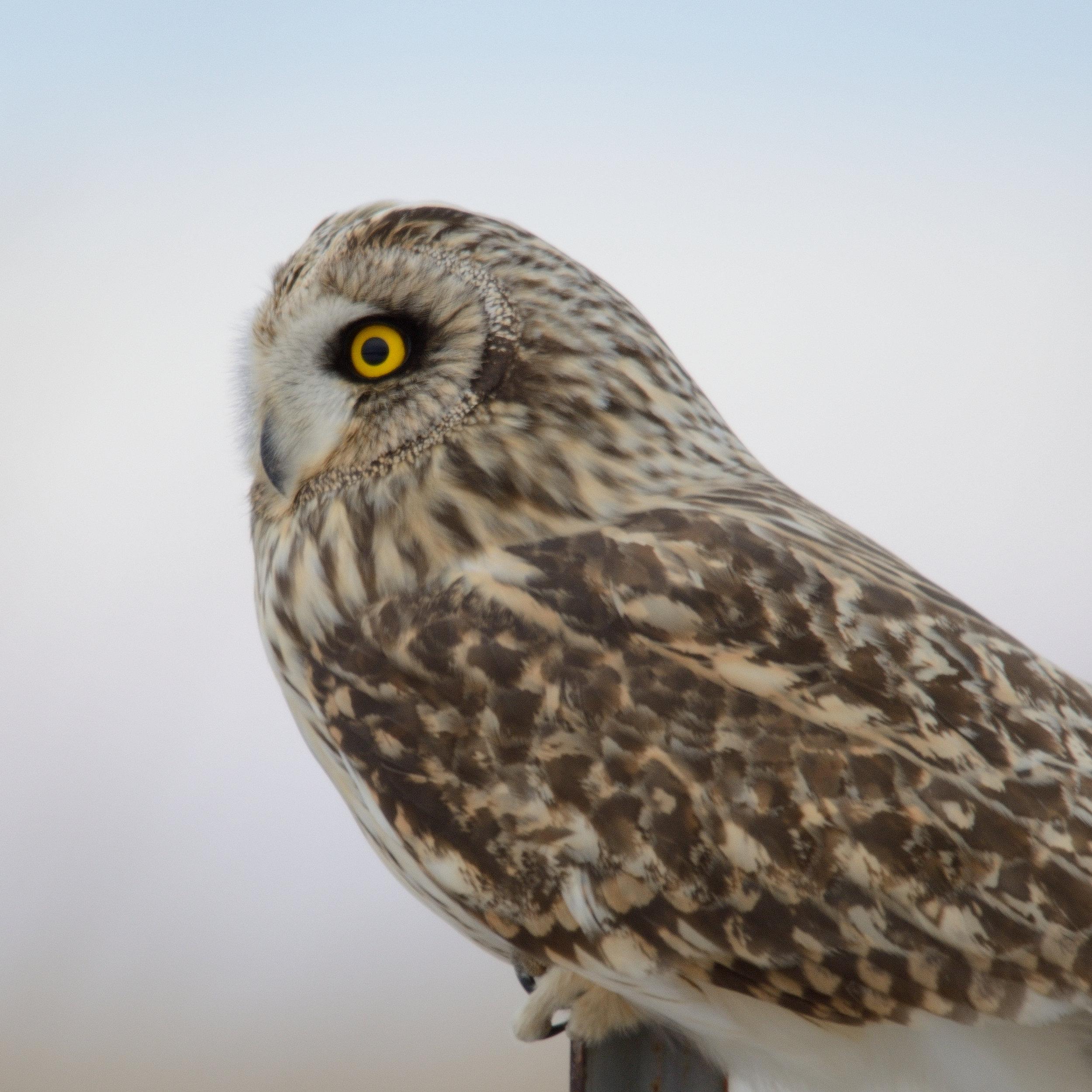 short-eared-owl_31322768193_o.jpg