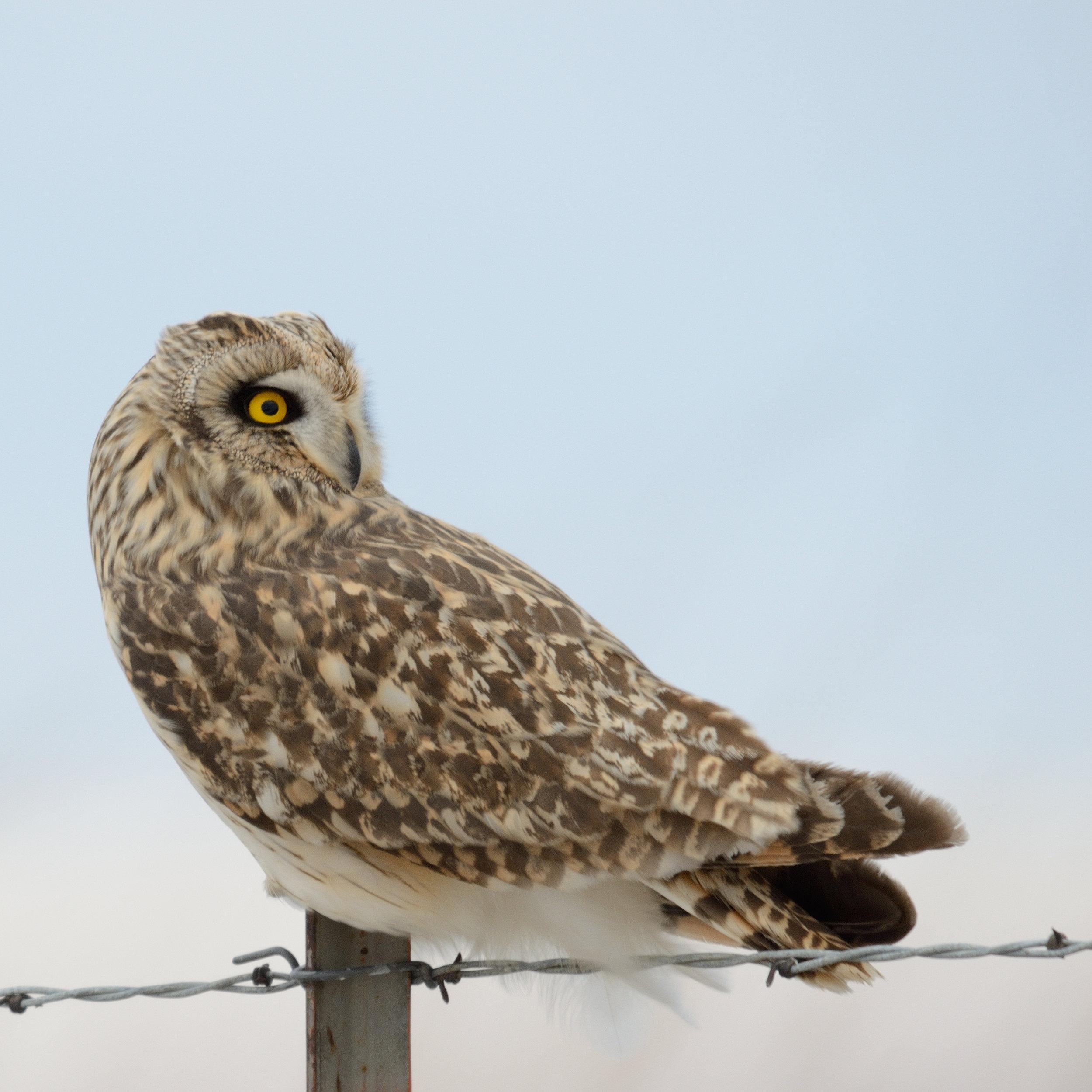 short-eared-owl_31983974872_o.jpg