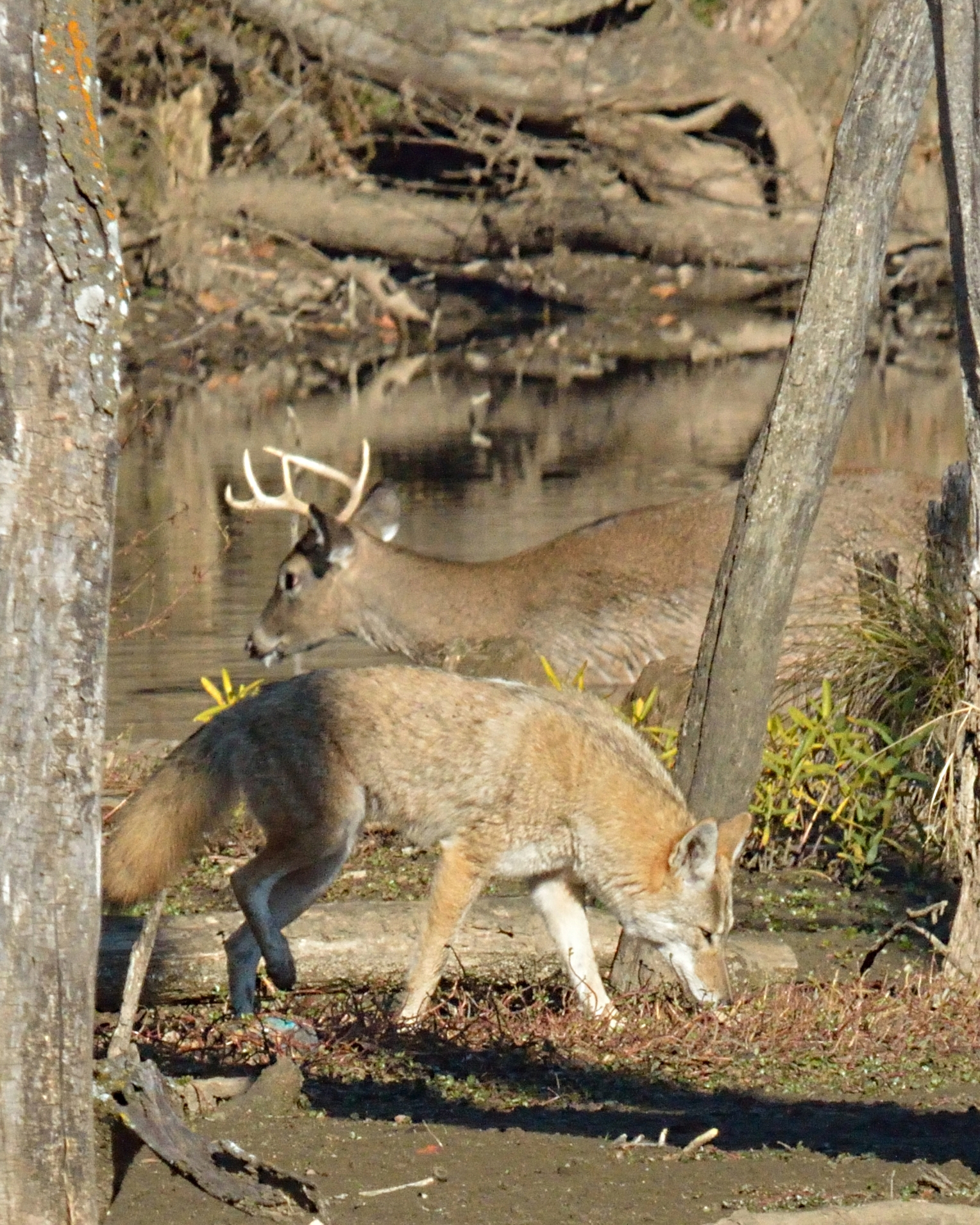 Coyote vs. White-tailed Deer