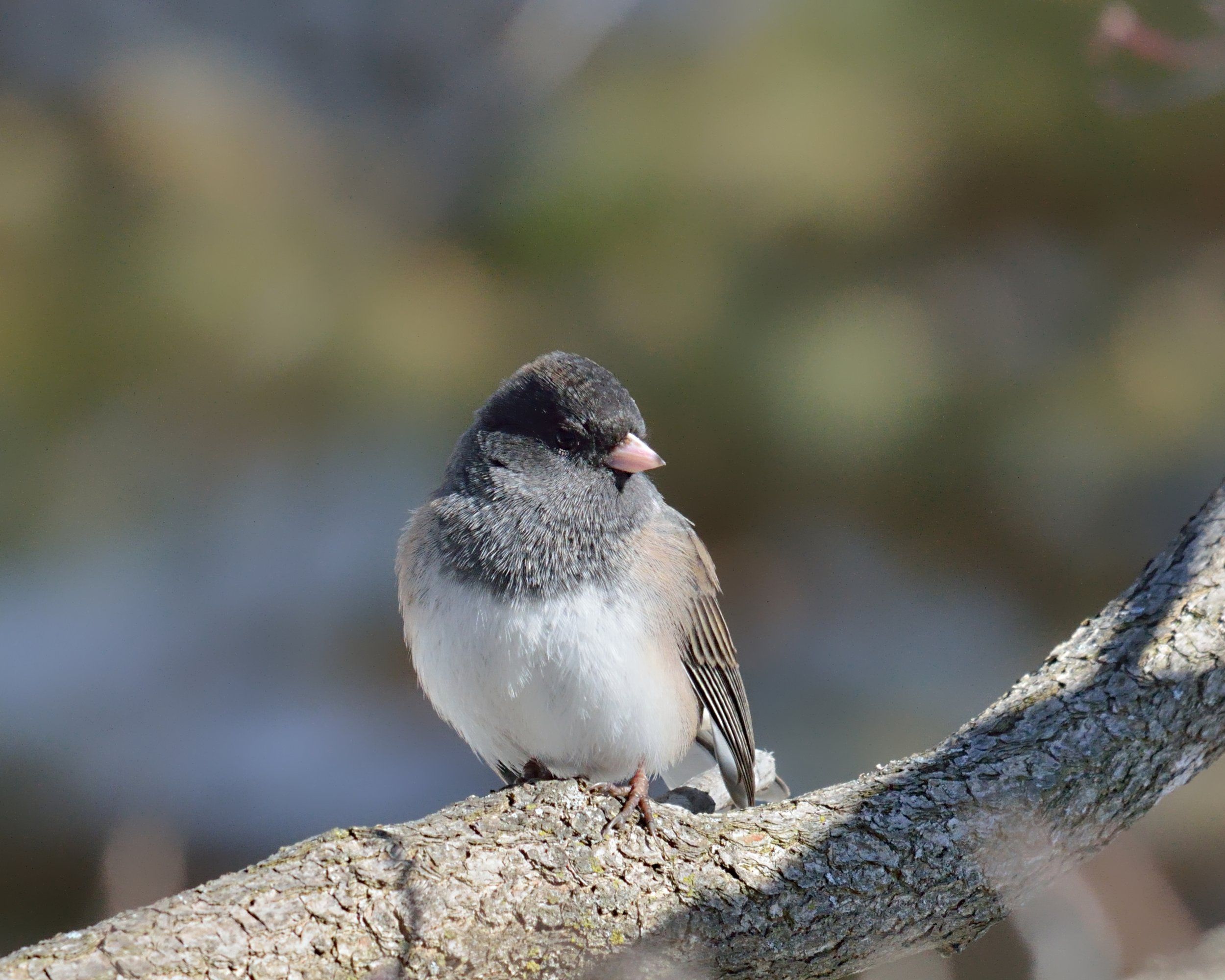"""On New Year's Day I found some time to go outside and watch birds. As I sat on the porch, a few of them flew right up to the feeders hanging from the eave. This junco sat on a nearby branch for a while and let me snap away!"""