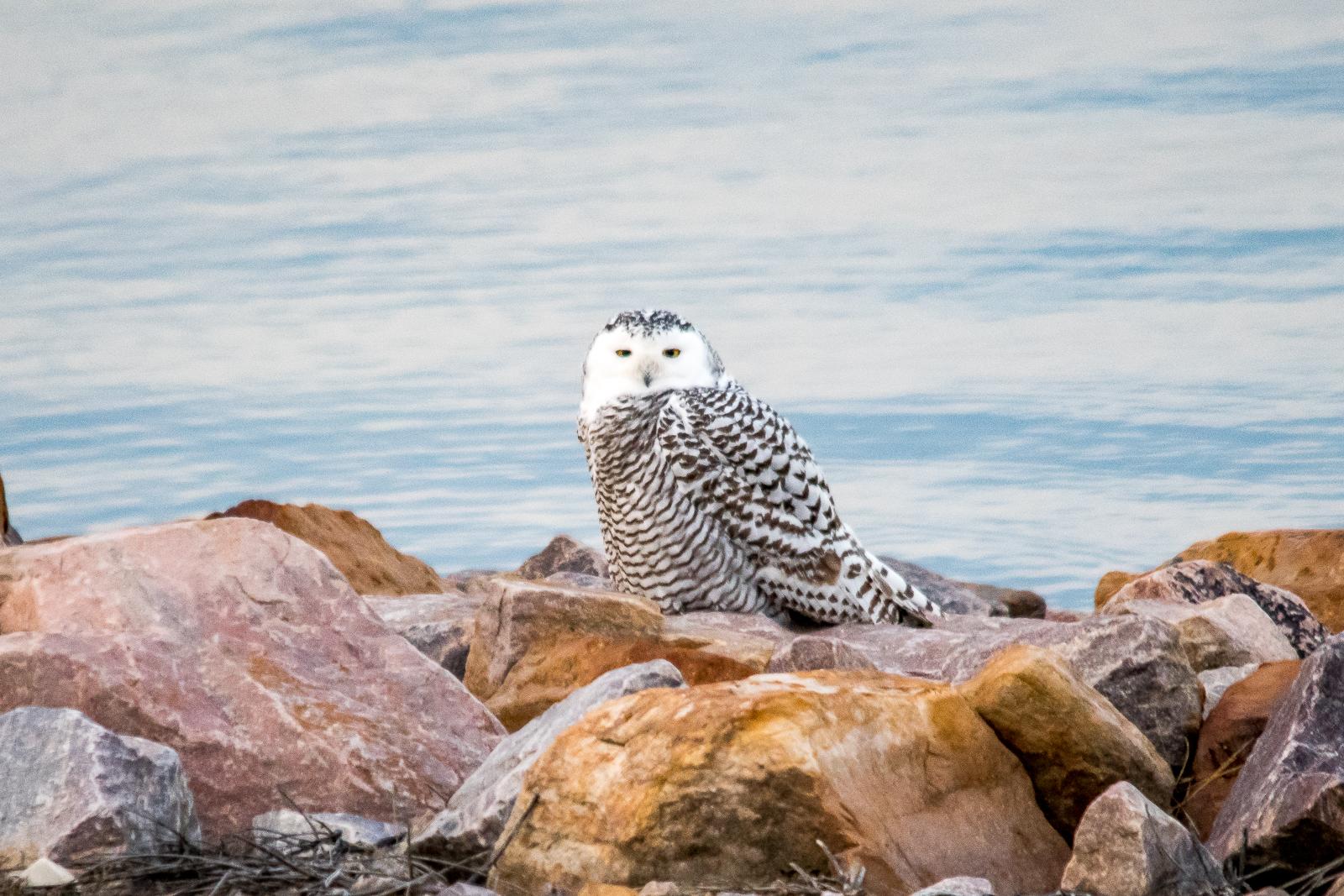 snowy-owl_24955578478_o.jpg