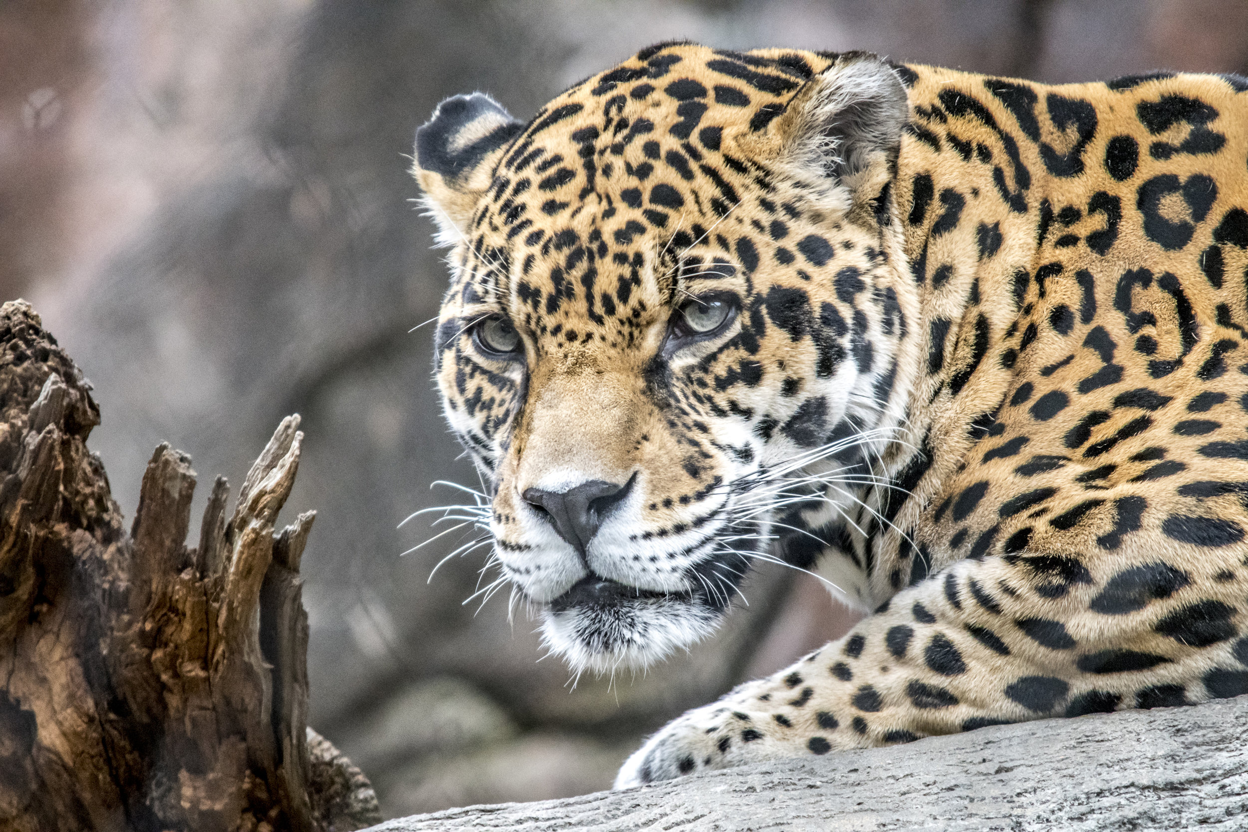 """The Amur Leopard is a critically endangered """"Big Cat"""" that lives in the forests and jungles of far east Asia. There are believed to be around 60 individuals left in the wild!  (Omaha Zoo)"""