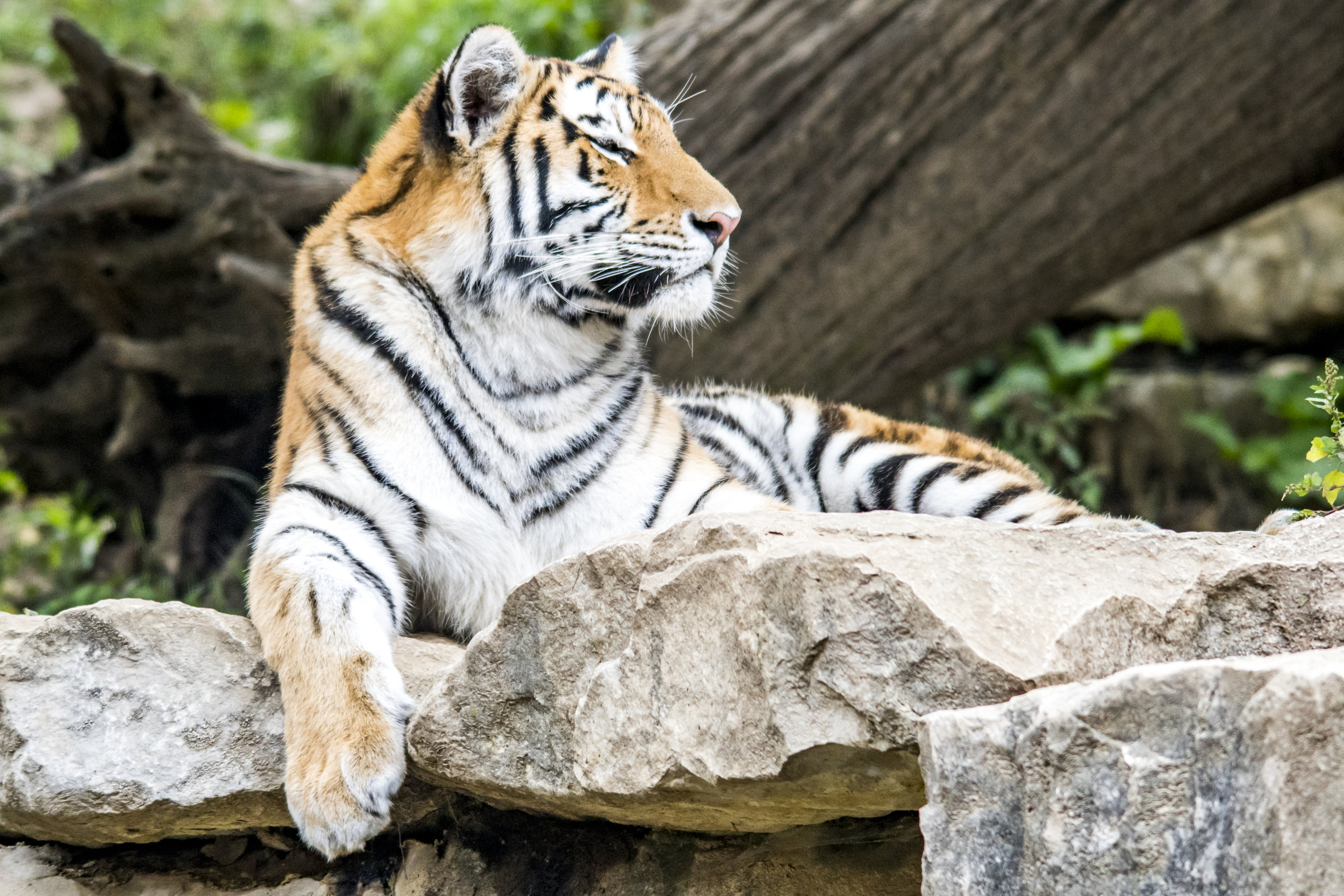 """The Tiger is the largest Asian """"Big Cat,"""" and the only one with stripes. It is also one of only """"Big Cats"""" that is a keen swimmer, and seems to like water. It is, however, endangered and needs our protection!  (Omaha Zoo)"""