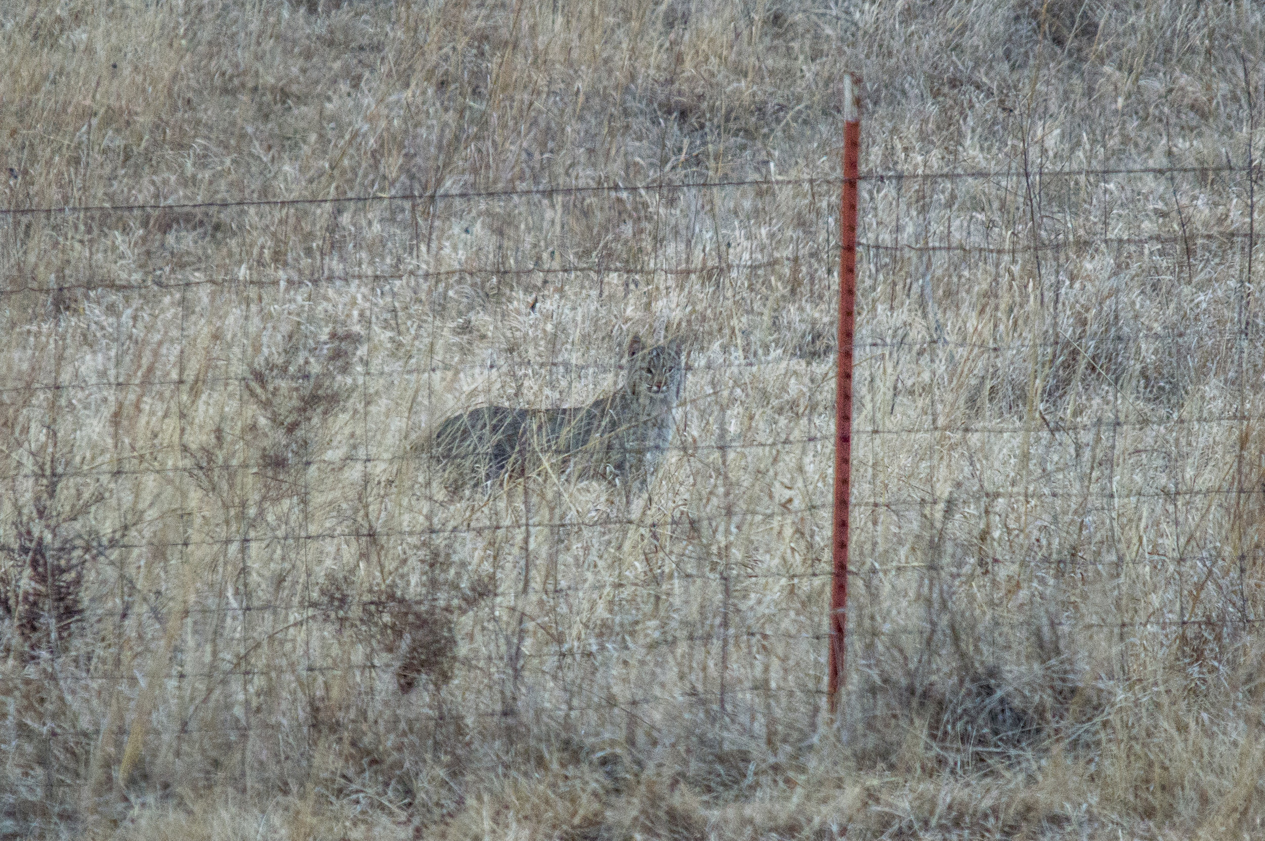 """The Bobcat isn't technically a """"Big Cat,"""" but is included for the purposes of bringing recognition to animals that need protection on this World Wildlife Day. It is also the only """"Big Cat"""" that I have seen in the wild and been able to capture an image of. I was so excited that my camera settings were still set for flying birds (fast shutter and high ISO) and the image was very shaky. I wish I would have thought to get the correct setting to get a good image, but I'm happy with what I got!  (Prairie Center Kansas)"""