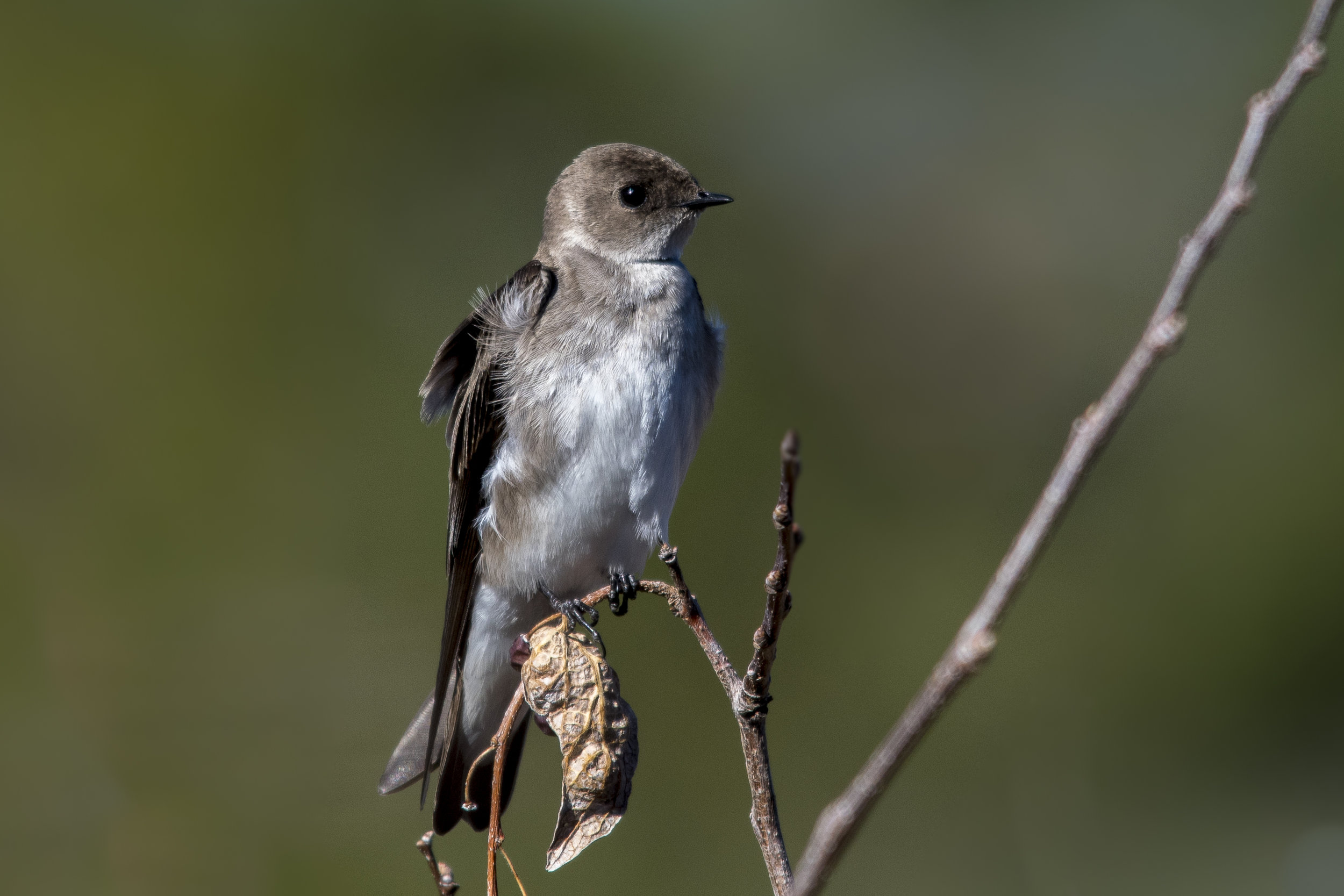 Northern Rough-winged Swallow (Sedona)