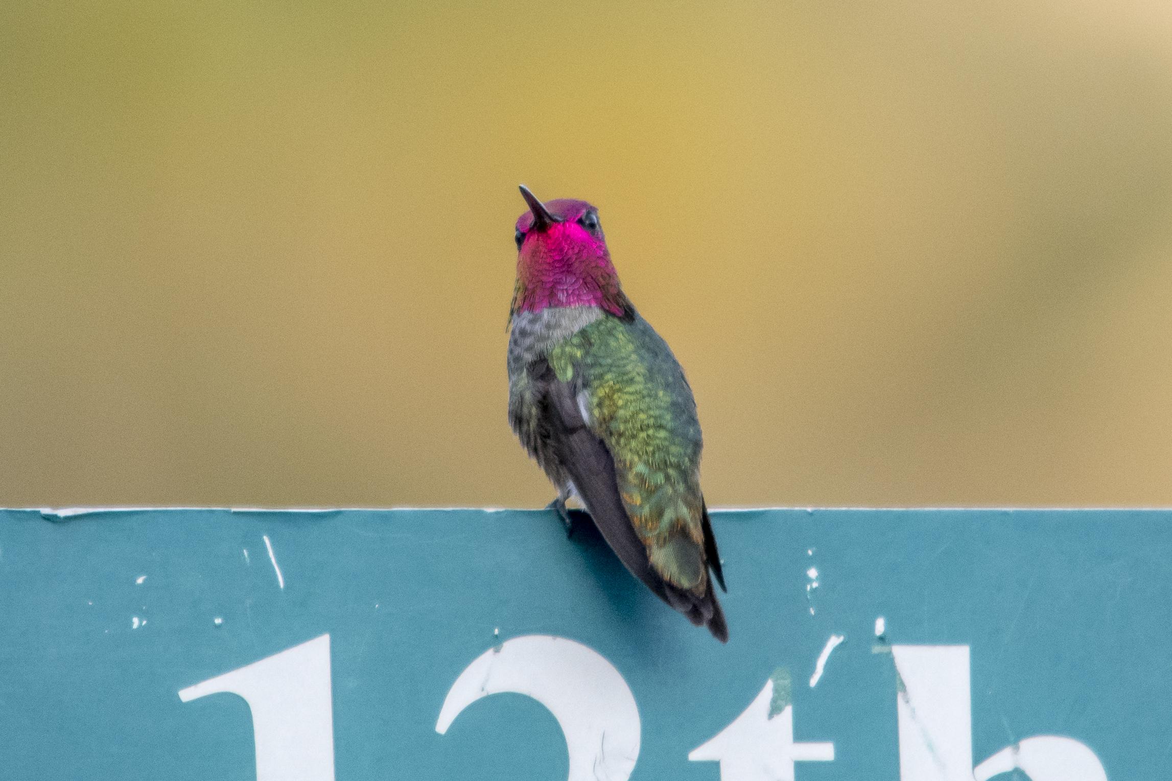 Anna's Hummingbird (Phoenix)