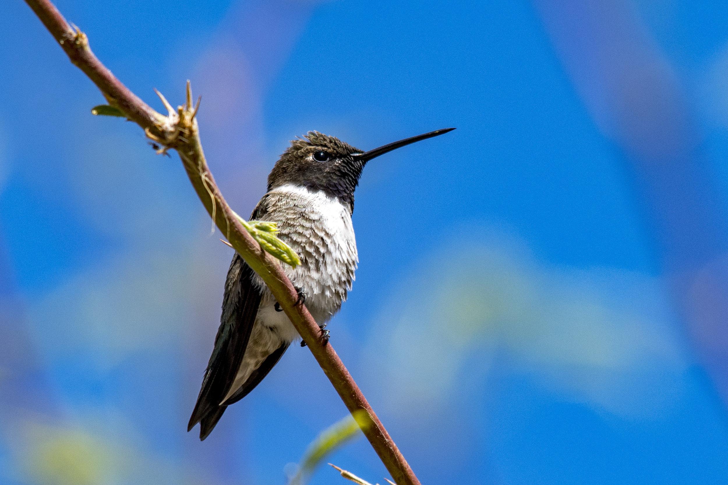 Black-chinned Hummingbird (Riparian Preserve at Gilbert Water Ranch)