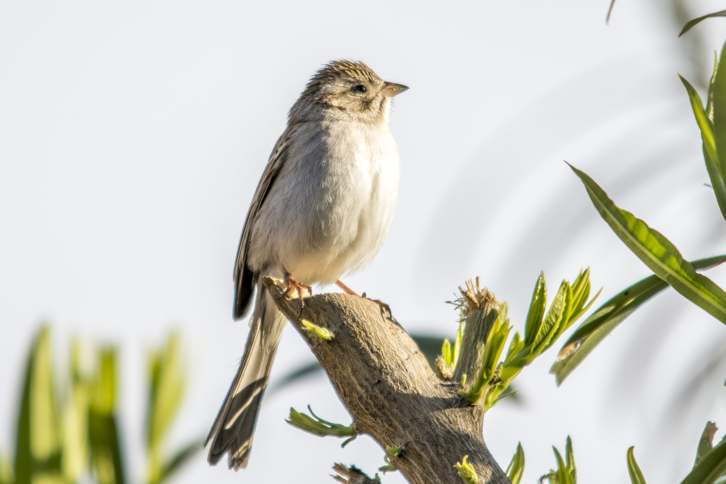 Brewer's Sparrow (Phoenix)