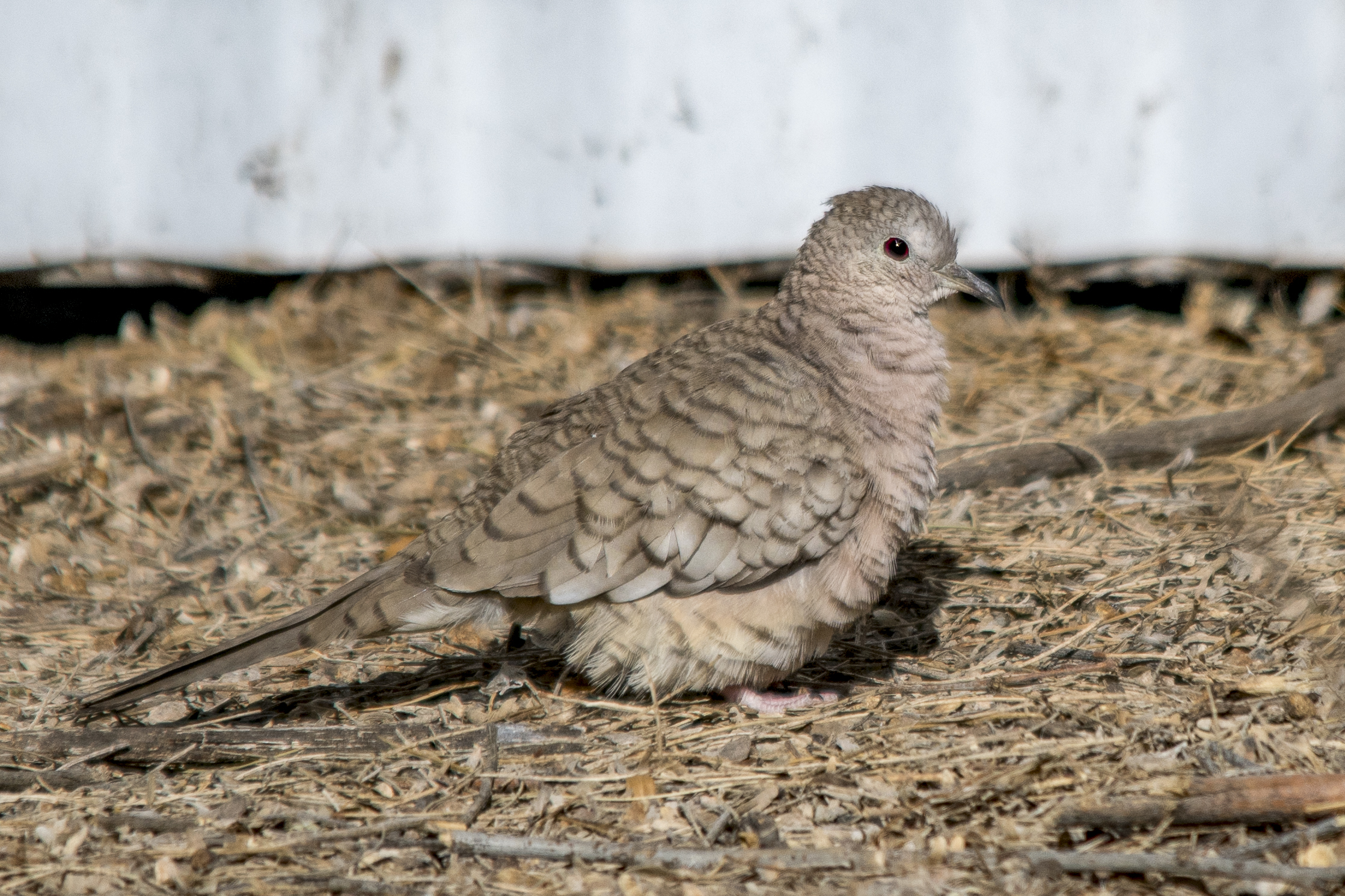Inca Dove (Riparian Preserve at Gilbert Water Ranch)