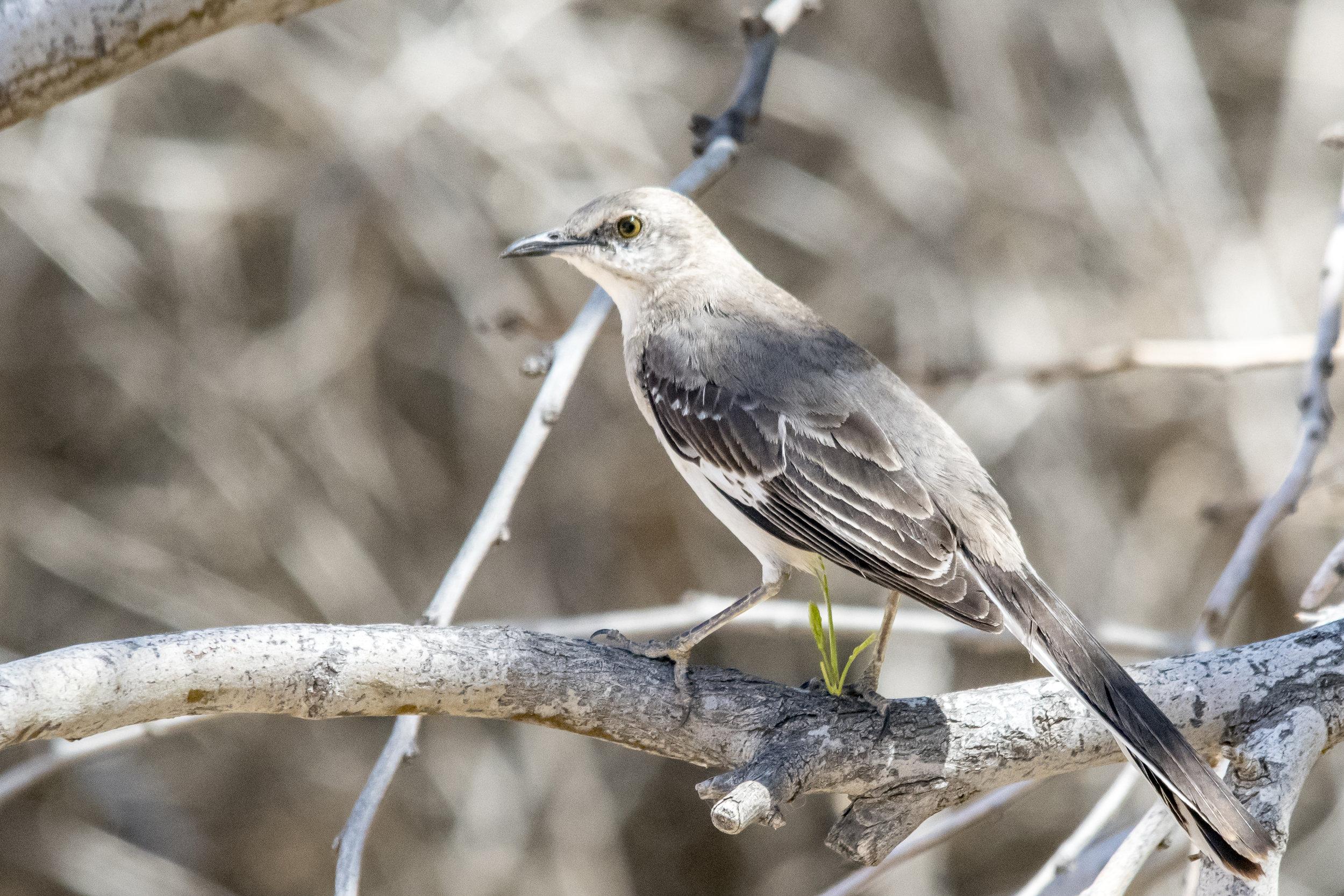 Northern Mockingbird (Riparian Preserve at Gilbert Water Ranch)