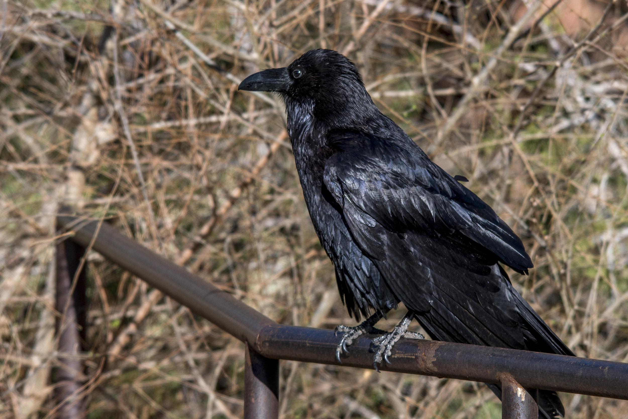Common Raven (Sedona)