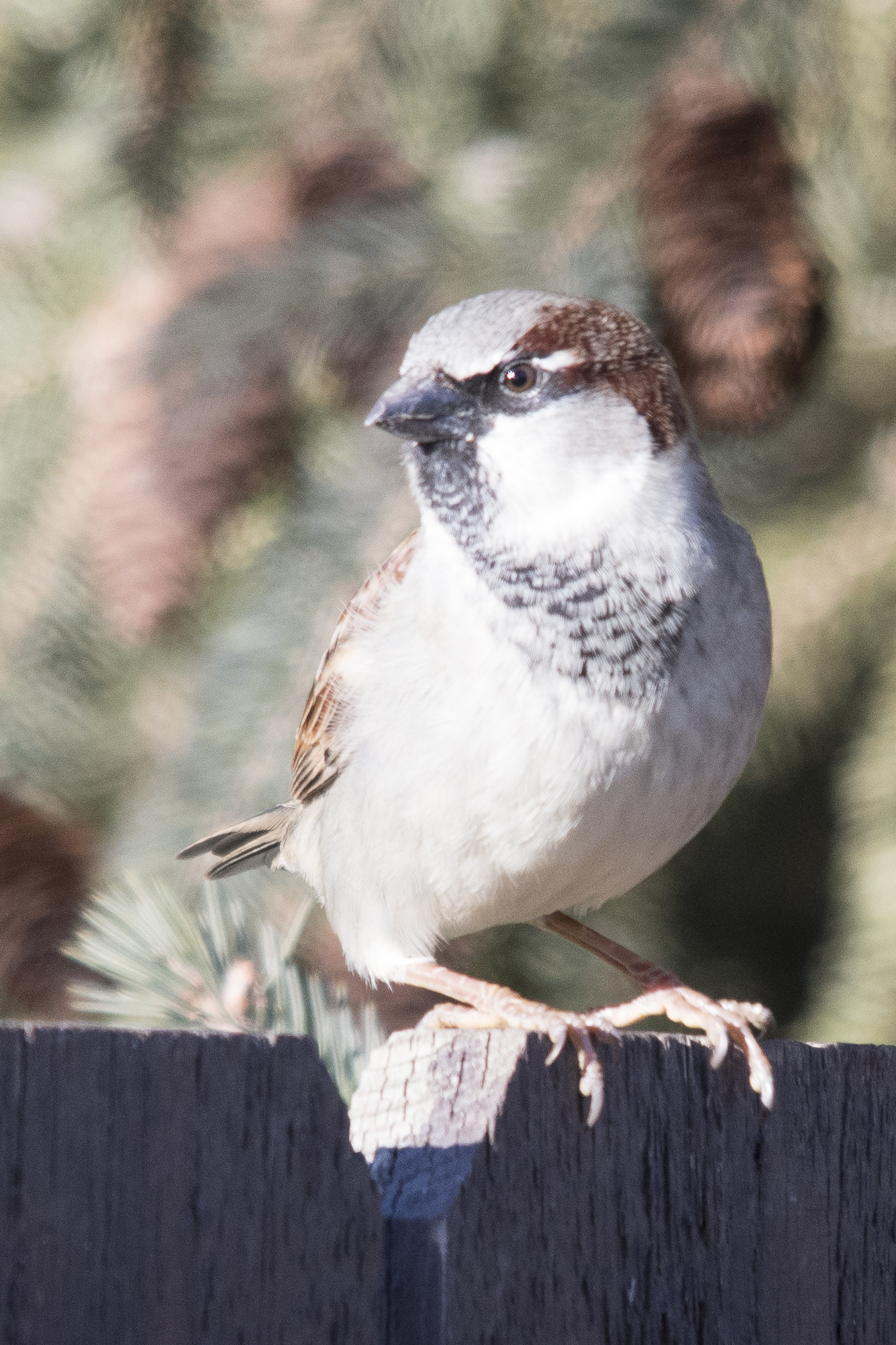 Before and After House Sparrow (2 of 2).jpg