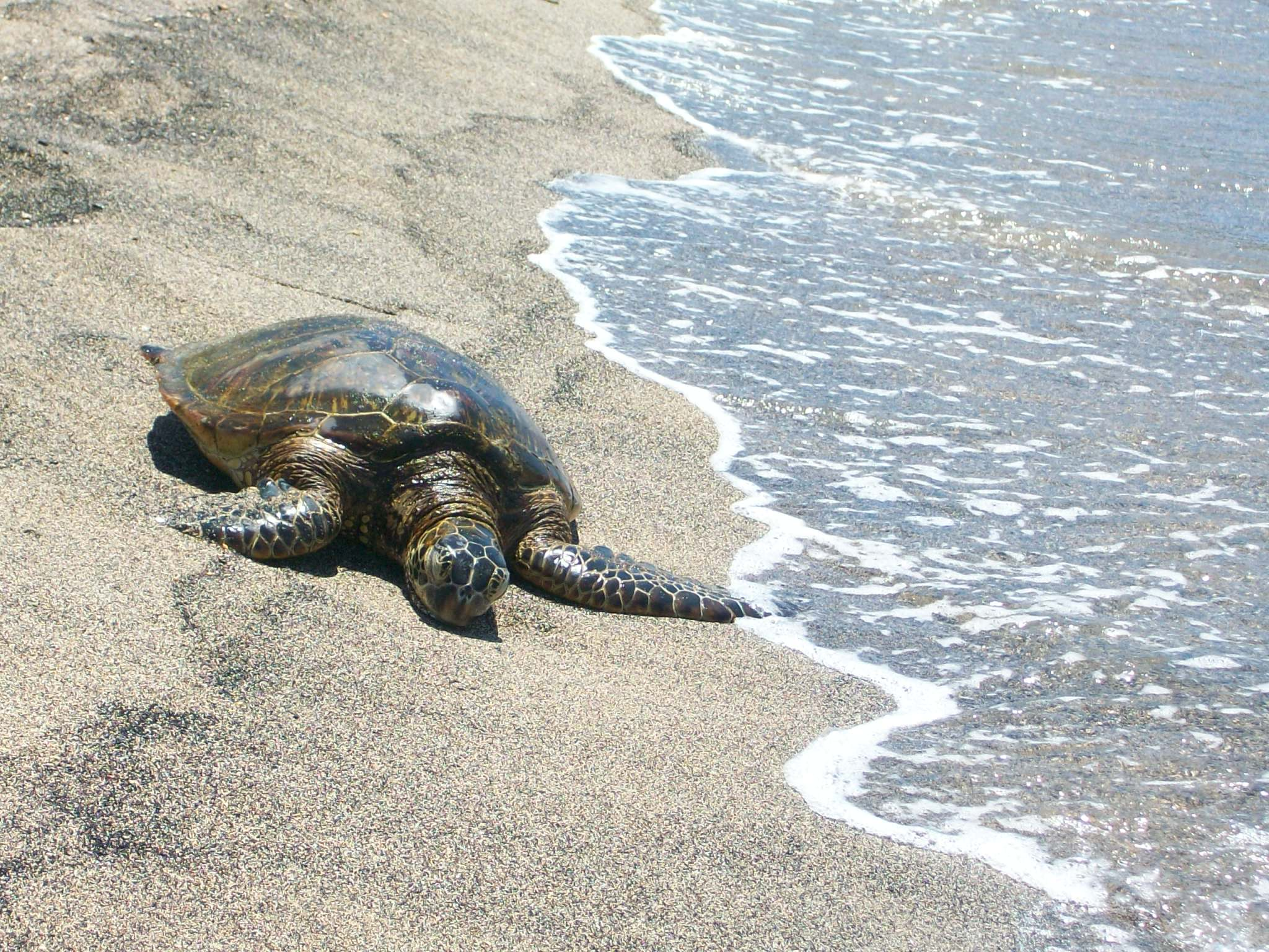 One of the local sea turtles.