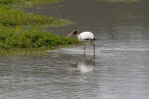 Woodstork (Missouri Rare Bird)