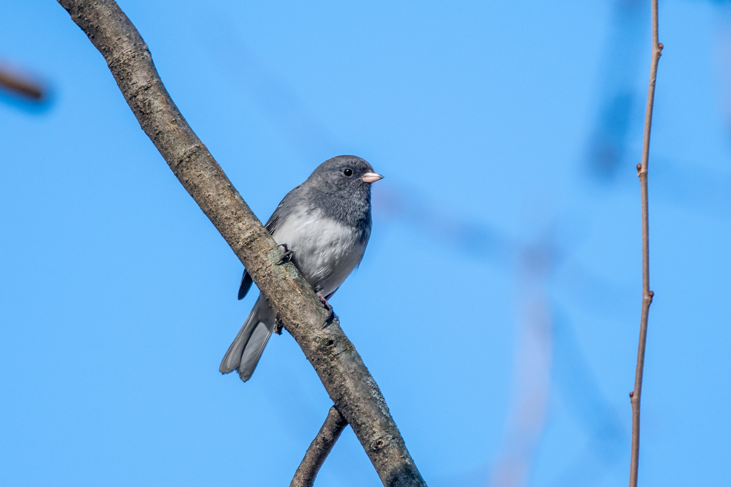 Dark-eyed Junco (Slate)
