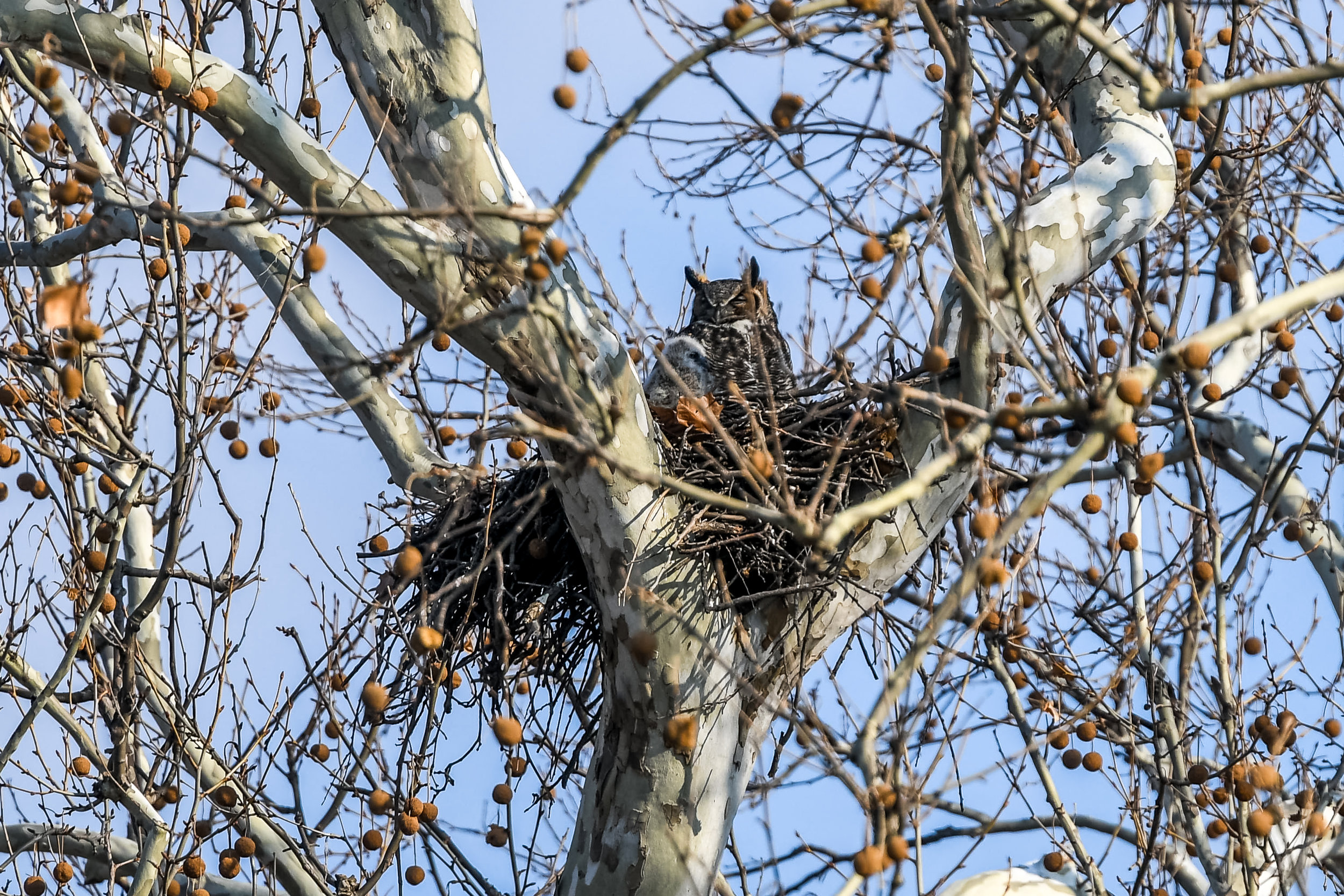 Great Horned Owl and Chick (1 of 20).jpg