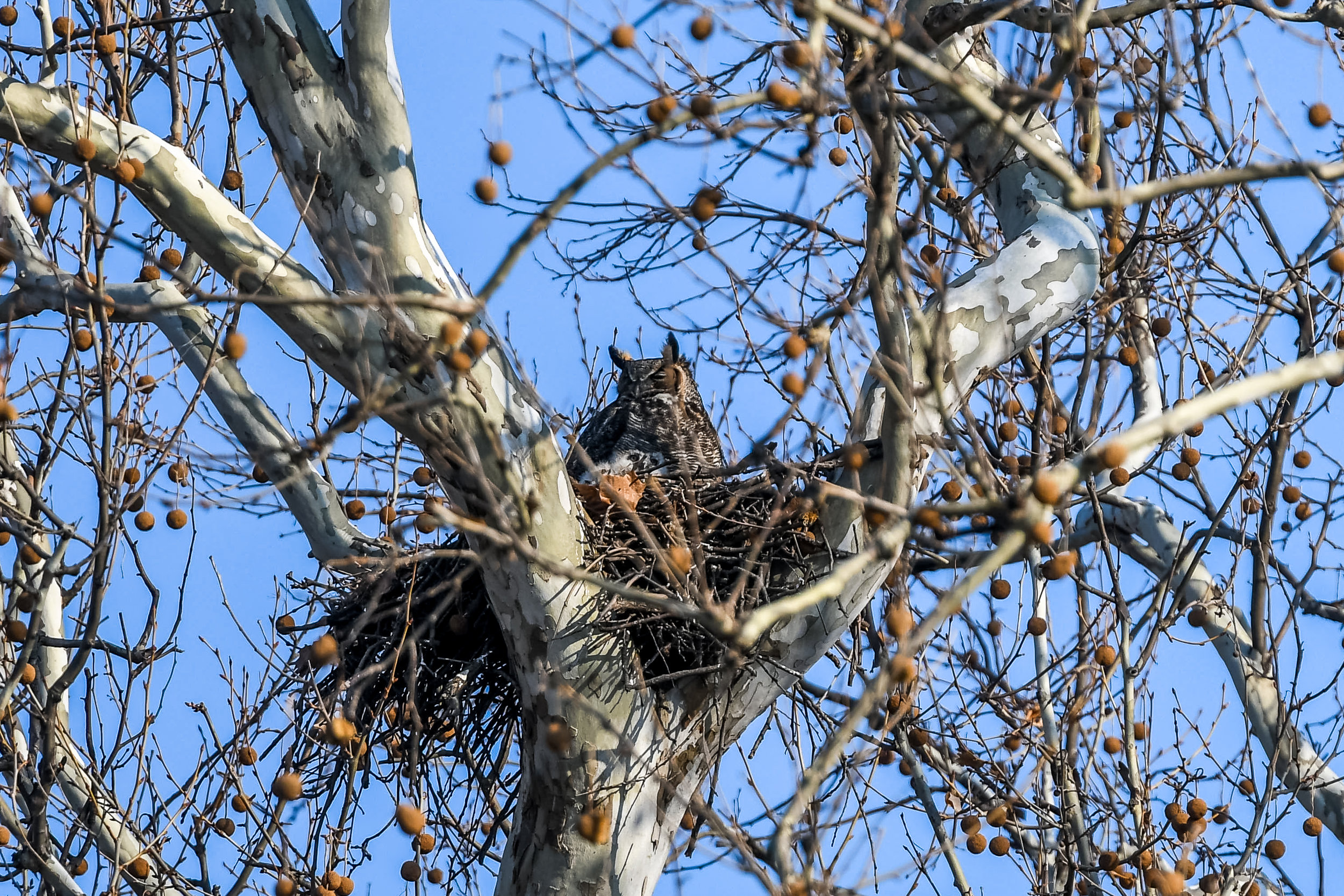 Great Horned Owl and Chick (4 of 20).jpg